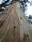 Eucaliptus de Oriñon